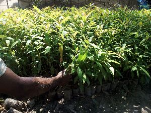 Khokon Plant