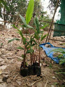 Large Cardamom Plant