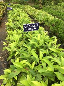 Magnolia Champaca Plant