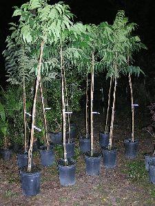 Pecan Nut Plant