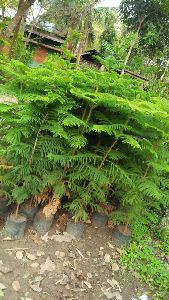 Pine Australian Tree