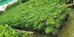 Pine Australian Trees