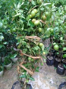 Round Lemon Plant