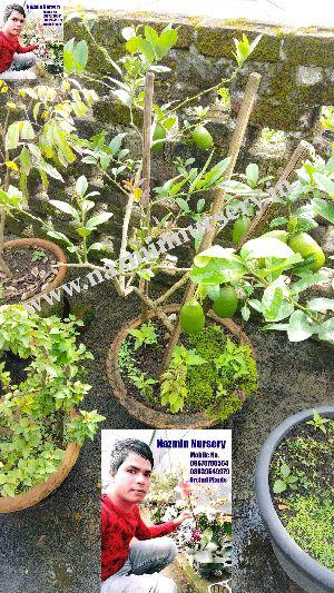 Seedless Lemon Plant