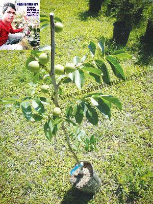 Walnuts Plant