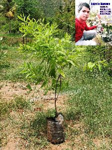White Sandalwood Big Plant
