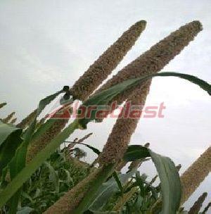Pearl Millet Seed 02