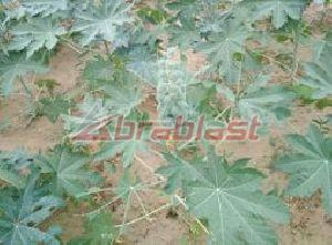 Raw Castor Seed 02