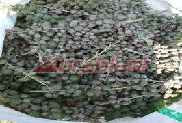 Raw Castor Seed