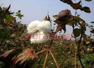 Raw Cotton  01