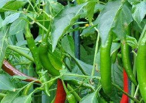 Bhagyalakshmi G4 Green Chilli