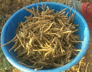 Safed Musli Roots