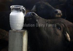 Fresh Buffalo Milk