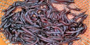 Singi Fish Seed