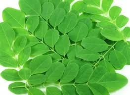 Green Moringa Leaves