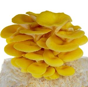 Fresh Golden Oyster Mushrooms