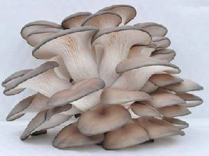 Fresh Grey Oyster Mushrooms