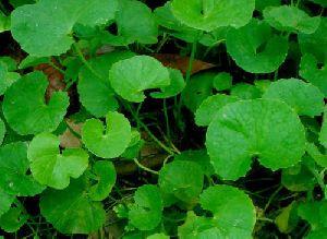 Vallari Herbs