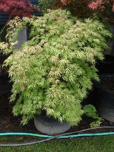 Acer Palmatam Tree