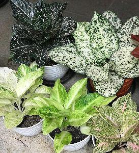Aglonema Plant