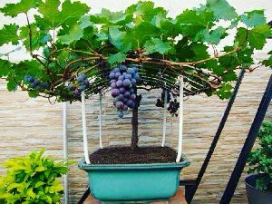 Bdwarf lack Grape Plant