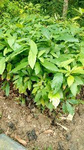 Bonchum Plant