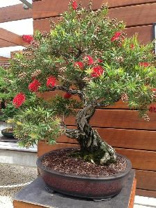 Bonsai Bottle Brush Tree