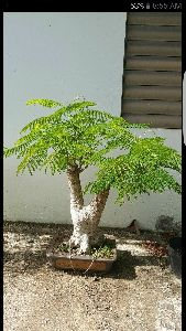Gulmohar Bonsai Tree