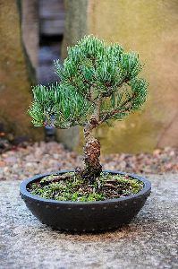 Japanese white Pine Tree