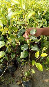 Jujube Appleber Plant