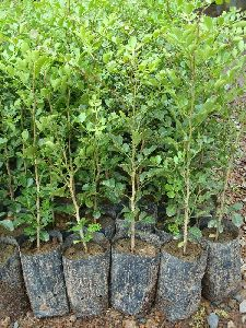 Kamini Kanchan Plant