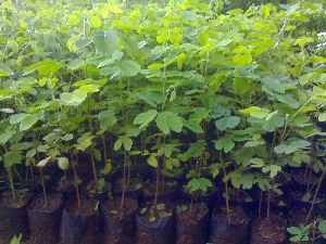 Rain Tree Plant