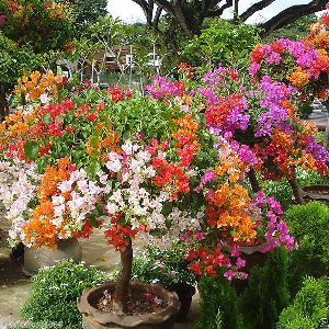 Rare Colorful Bougainvillea Plant