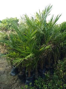 Royal Bottle Palm  Tree