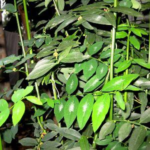 Thavasi keerai Plant
