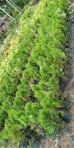 Tuja Pine Plant