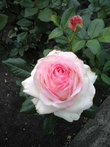 White Rose Crimson Plant
