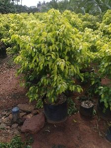 Yellow Ficus Tree