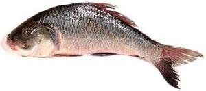 Live Katla Fish