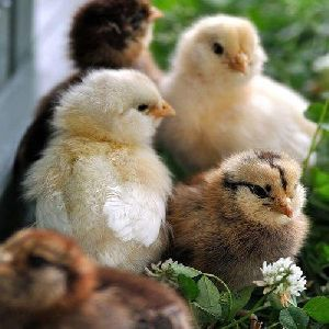 Country Chicken Chicks