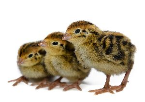 Quail Chicks
