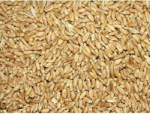 Dried Wheat Seeds