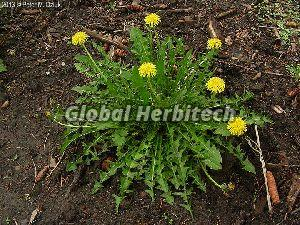 Taraxacum Officinale Tea