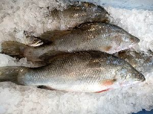 Frozen Sea Bass Fish