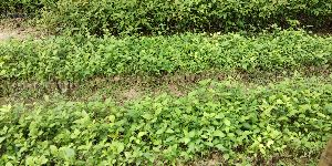 Aegle marmelos (Bel) Plant