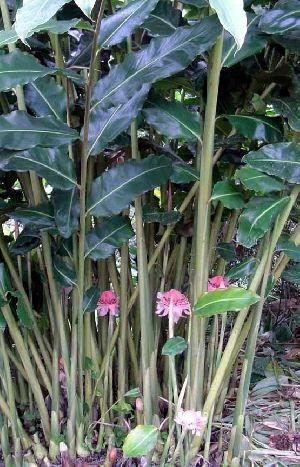 Black Cardamom Plant