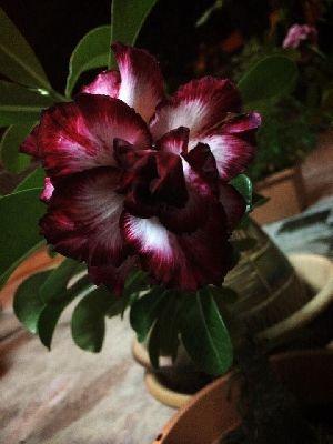 Black White And Pink Desert Rose Plant