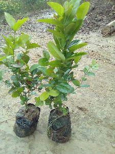 Carissa carandas  Plant