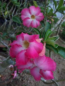 Grafted Adenium Plant