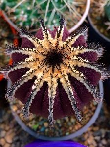 Notocactus Roseoluteus Cactus Plant